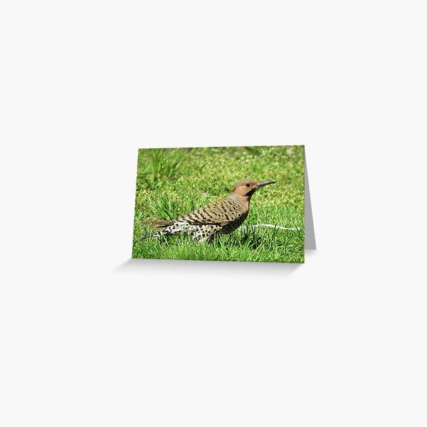 Common Flicker Woodpecker Greeting Card