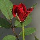 iphone rose by TxGimGim