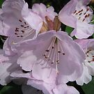 Pink Rhododendrons by celtusone