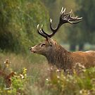 Stag in the Rain by Val Saxby