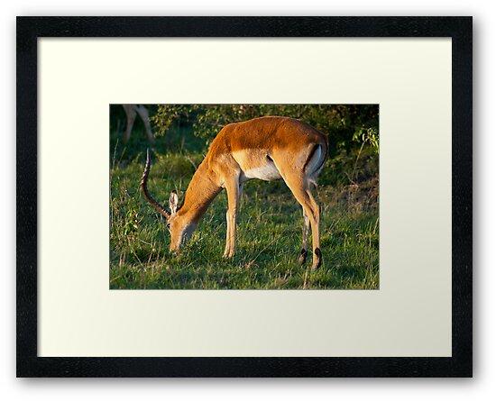 Thomson's Gazelle by evilcat