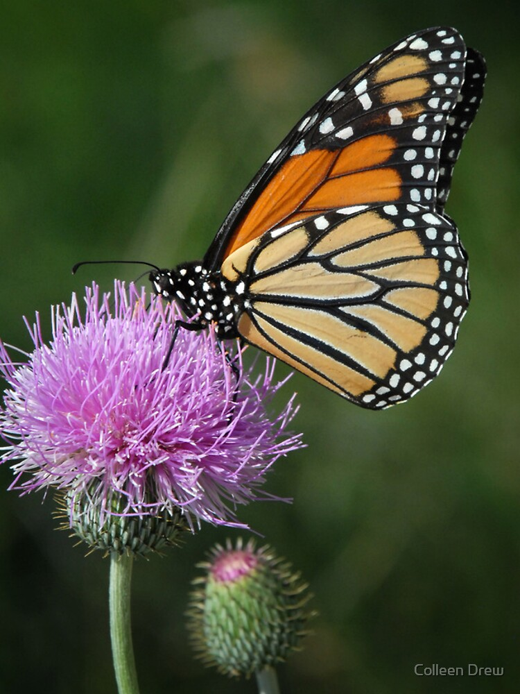 Monarch on Thistle - iPhone Case by colgdrew