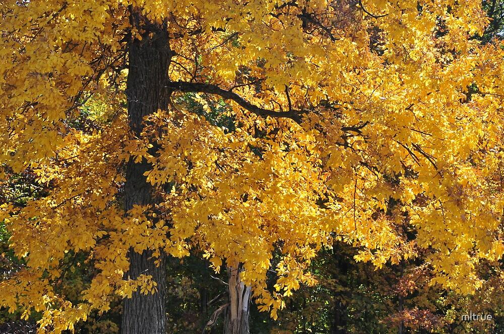 Golden Autumn Parker, IN by mltrue