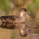 Grey Teal by Simon Bennett