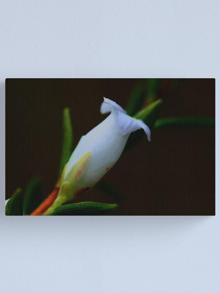 Alternate view of Epacris obtusifolia Canvas Print
