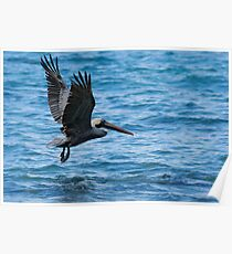 Brown Pelican in flight over water, Galapagos archipelago Poster