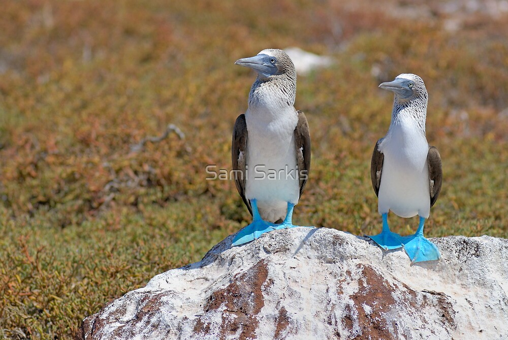 Two Blue-footed Boobies on a rock by Sami Sarkis