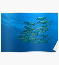 School of Yellowtail grunt (Anisotremus interruptus), underwater view Poster