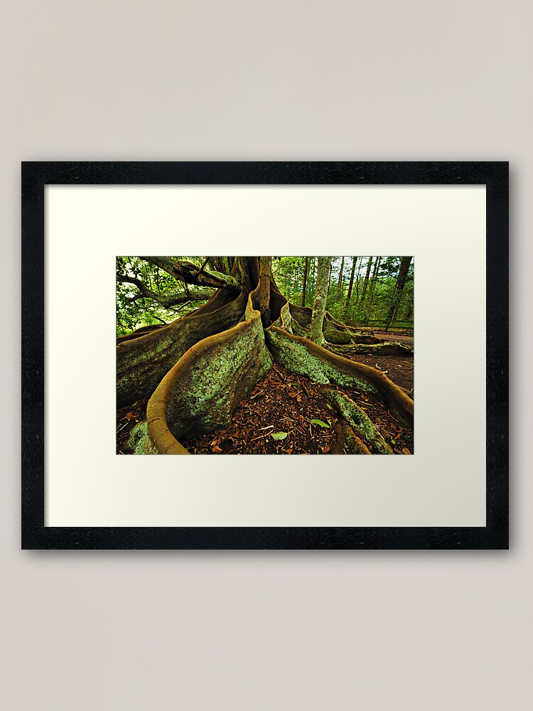 Alternate view of Banyang Tree Roots - Norfolk Island Framed Art Print
