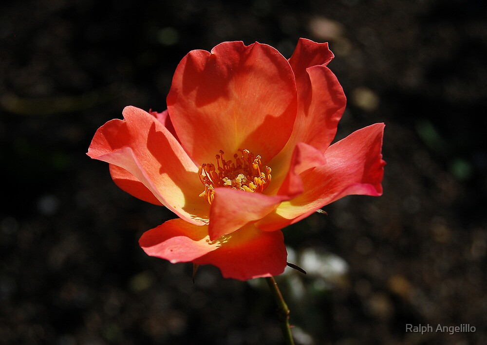 Red Beauty by Ralph Angelillo