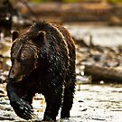 Female Grizzly Bear by Sue Ratcliffe