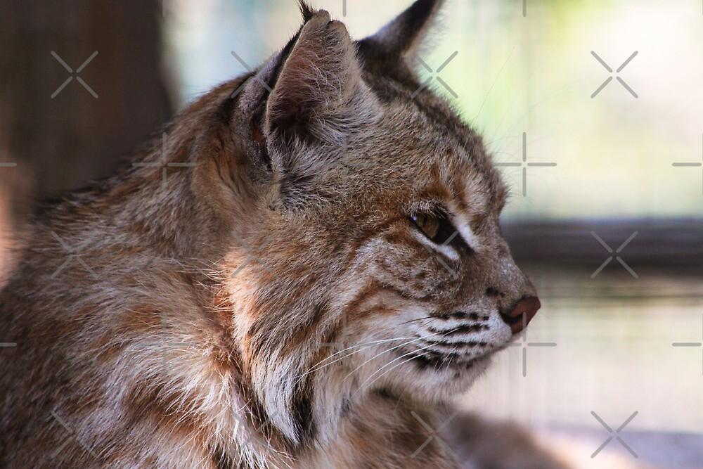 Lynx by Alyce Taylor