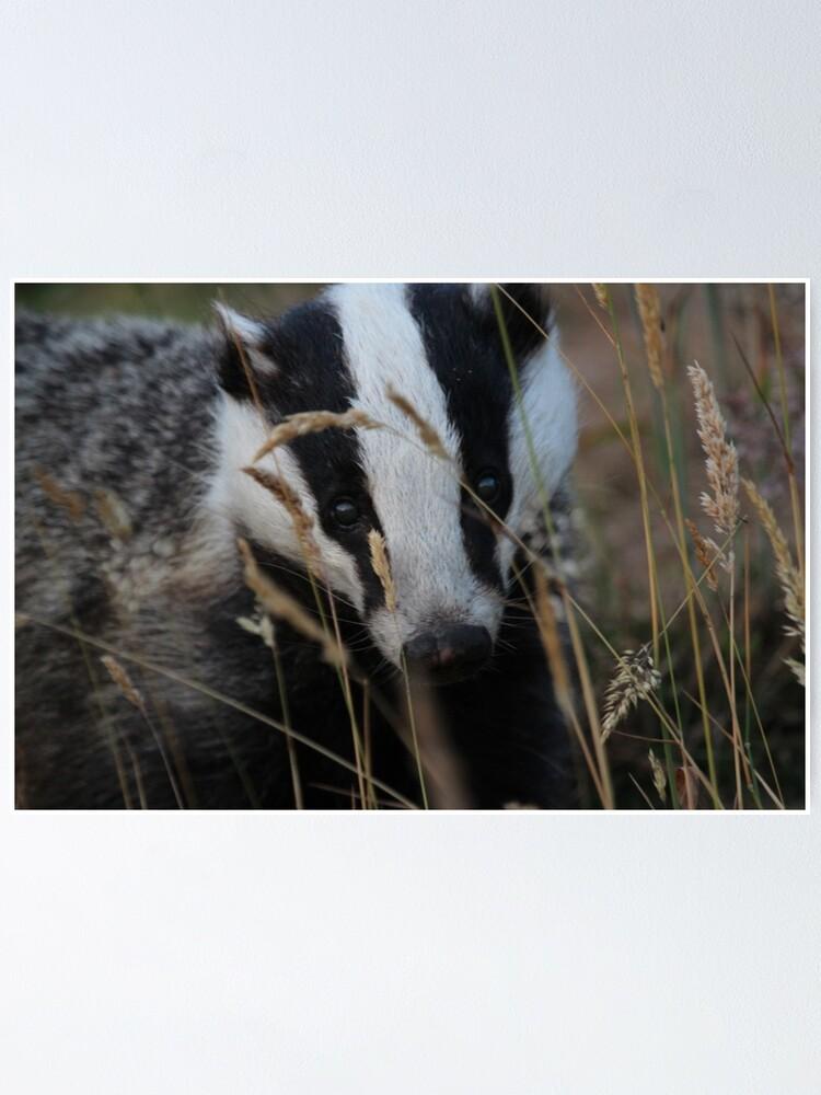 Alternate view of Badger hide and seek Poster