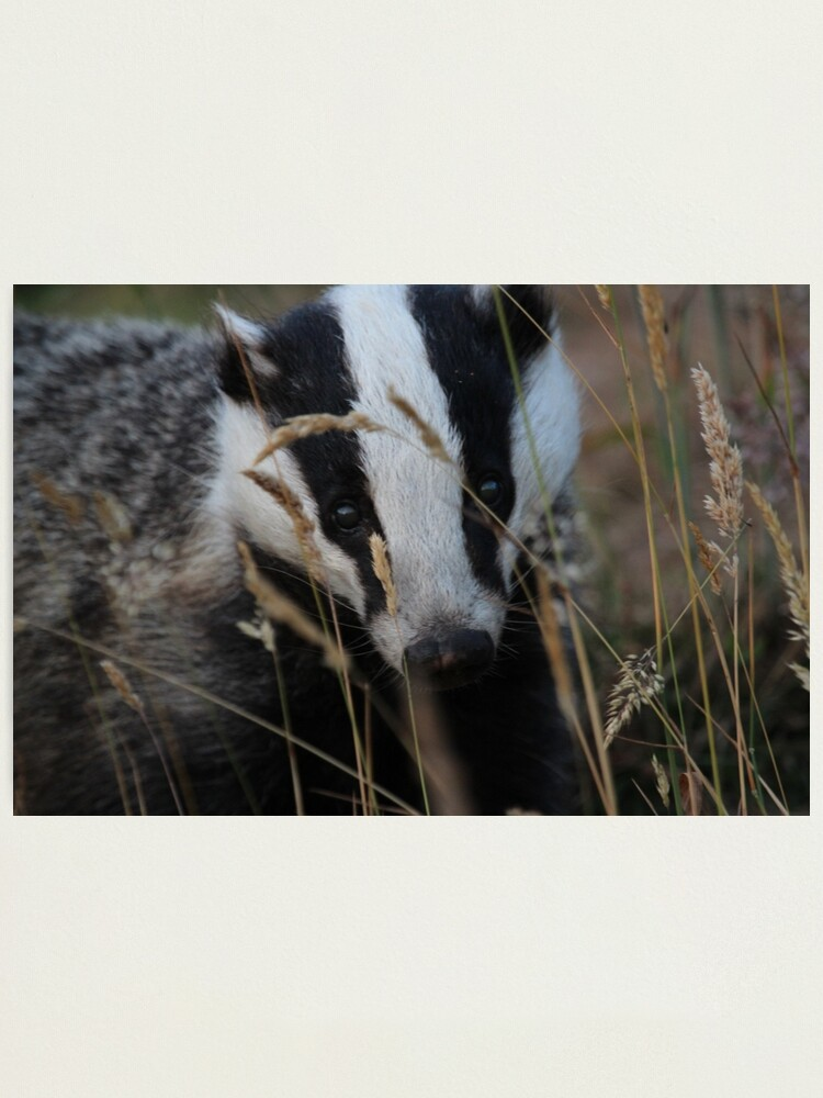 Alternate view of Badger hide and seek Photographic Print