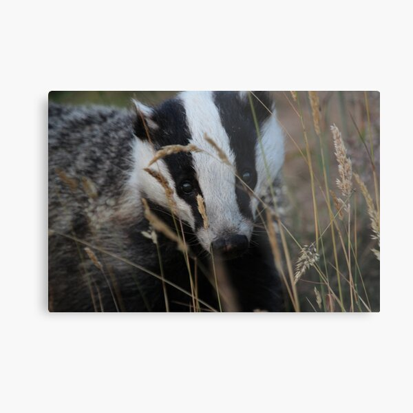 Badger hide and seek Metal Print