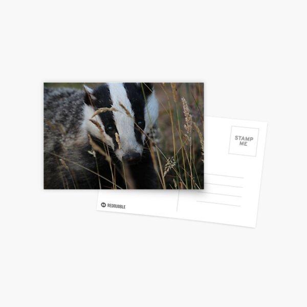 Badger hide and seek Postcard
