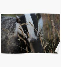 Badger hide and seek Poster