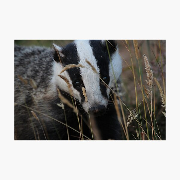 Badger hide and seek Photographic Print