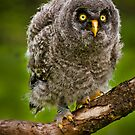 Baby Great Grey Owl by Sue Ratcliffe