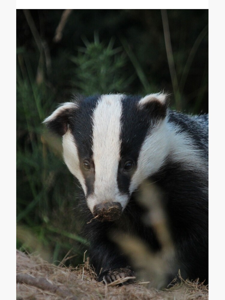 Badger by orcadia