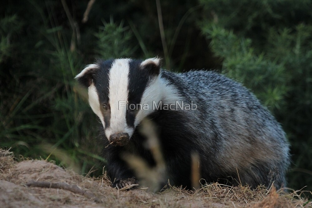 Badger by Fiona MacNab