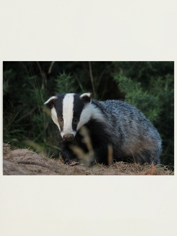 Alternate view of Badger Photographic Print