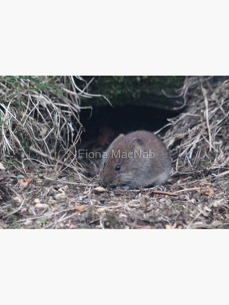 Bank vole by orcadia