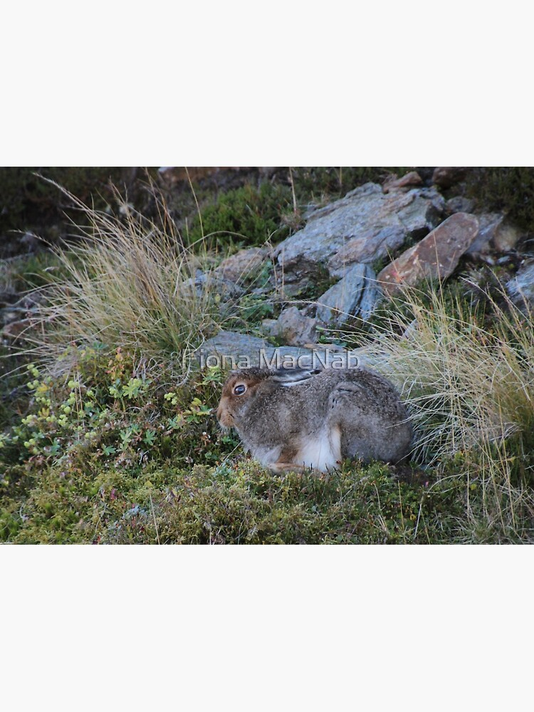 Mountain hare by orcadia