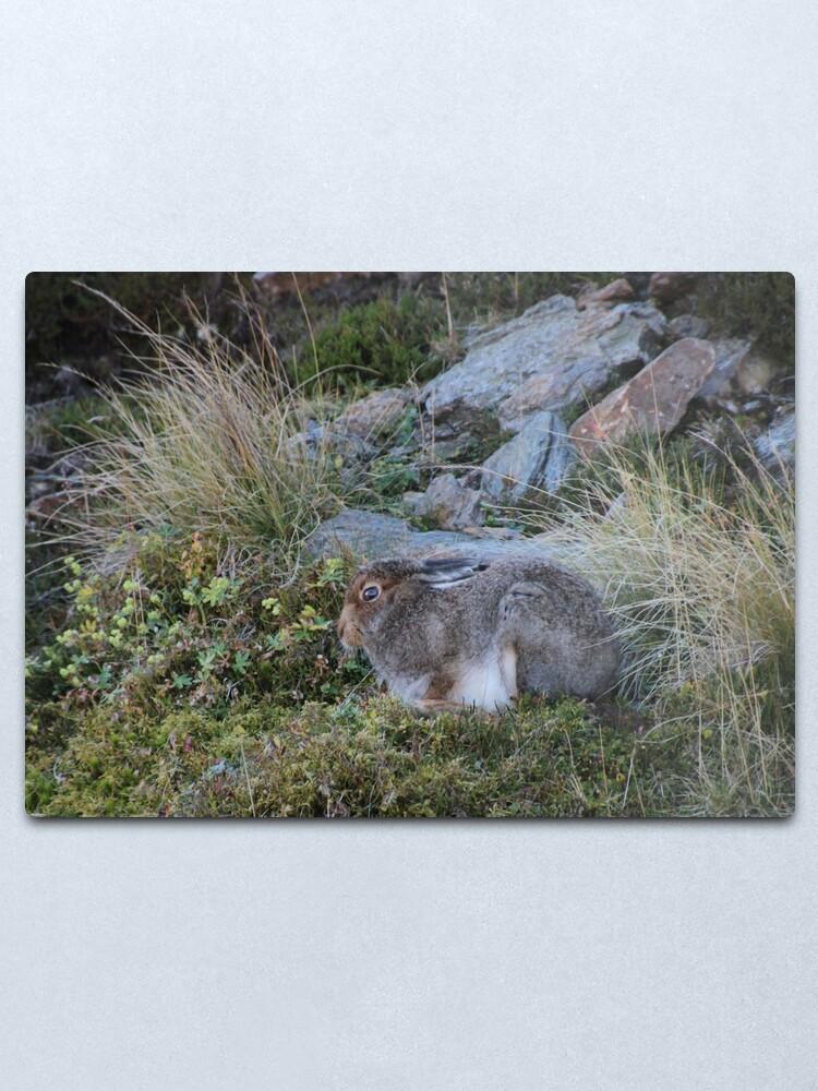 Alternate view of Mountain hare Metal Print