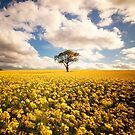lone tree in a rapeseed field by paulgrand