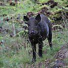 Wild boar by Fiona MacNab