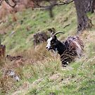Wild goat by Fiona MacNab