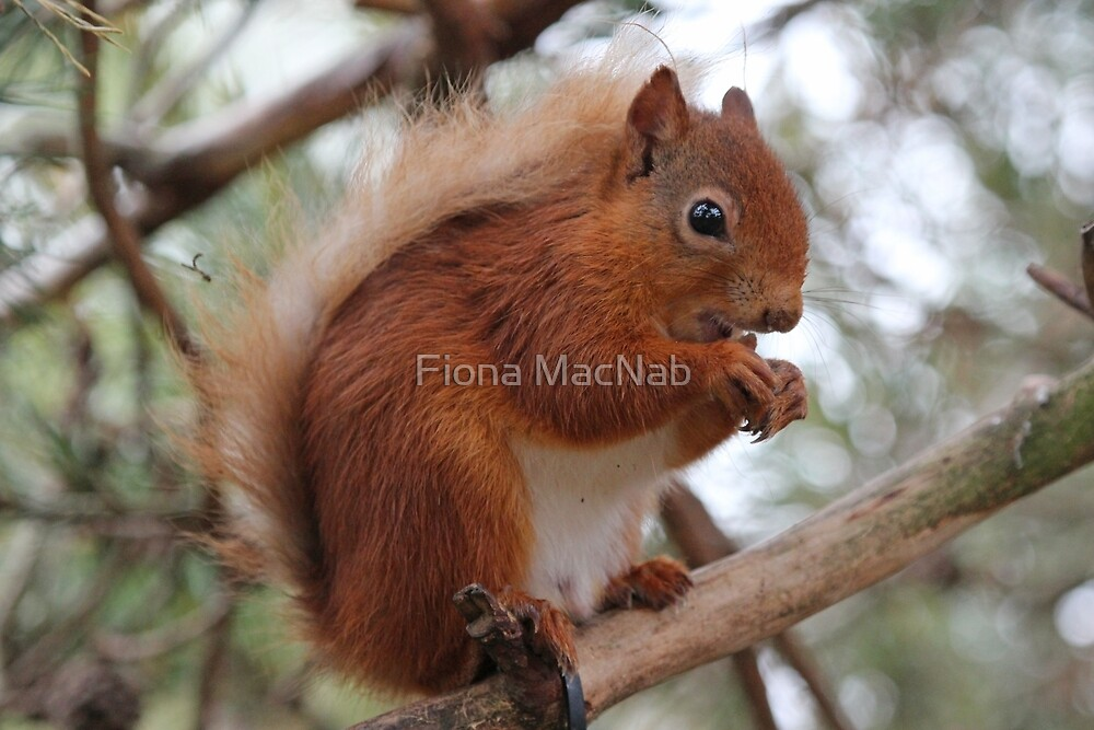 Red squirrel by Fiona MacNab