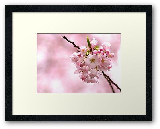 Cherry Blossom by Janice Chiu