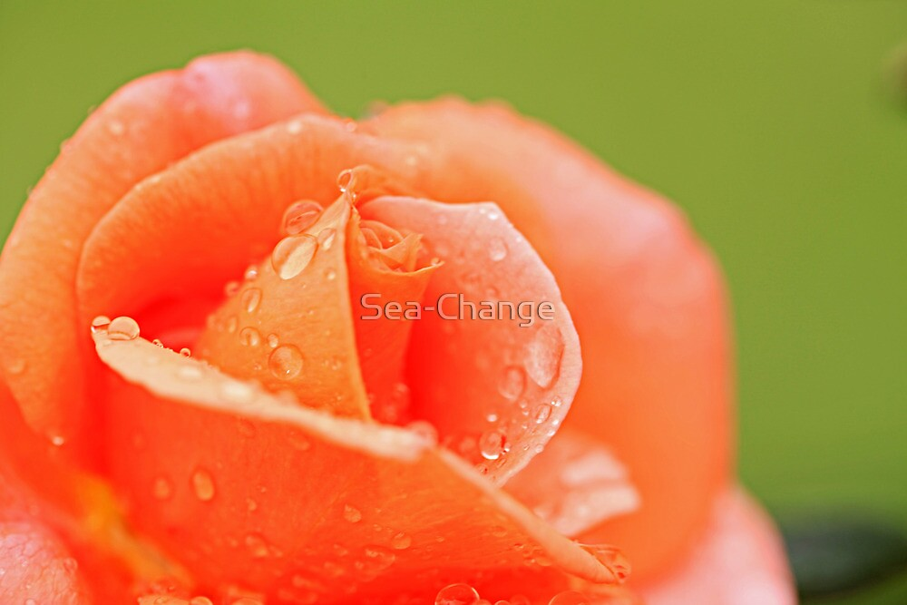 Raindrops on Roses #12 by Sea-Change