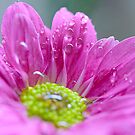 raindrops on pink mum by lensbaby