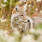 Coyote among flowers by Philippe Widling