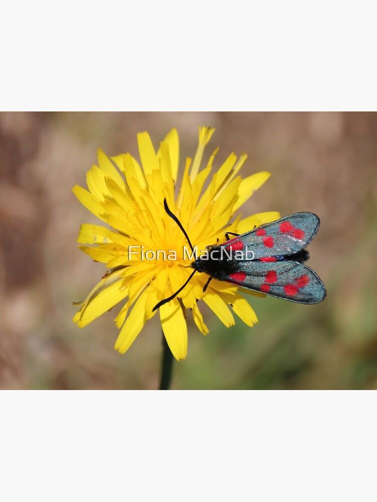 Burnet moth by orcadia
