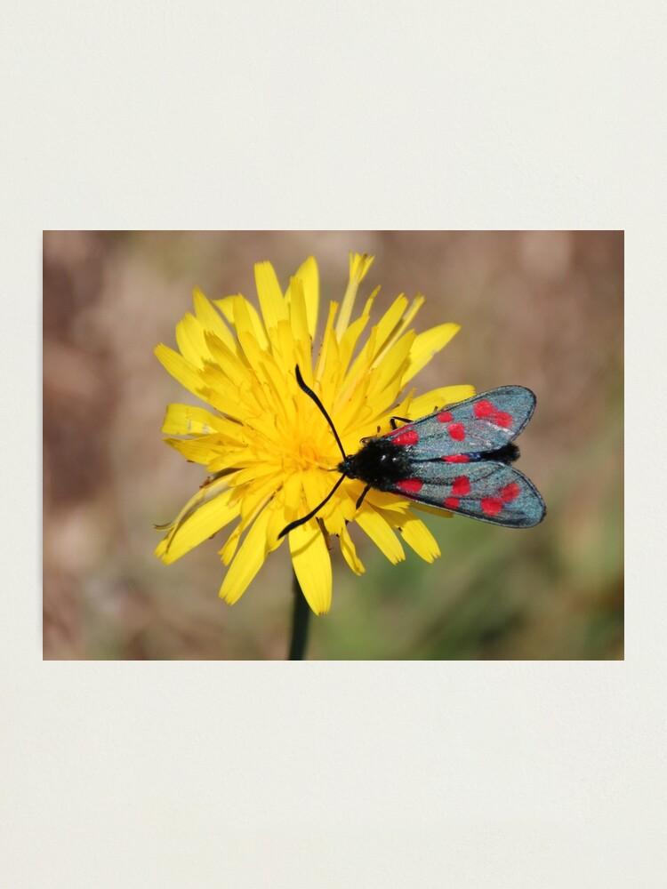 Alternate view of Burnet moth Photographic Print