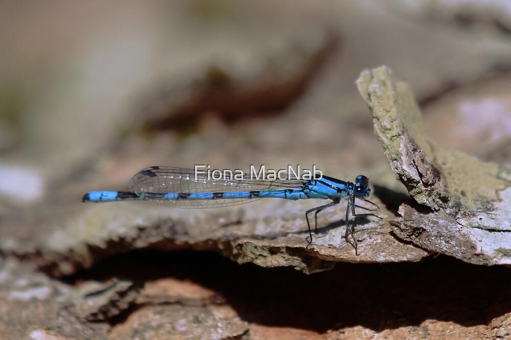 Common blue dragonfly by Fiona MacNab
