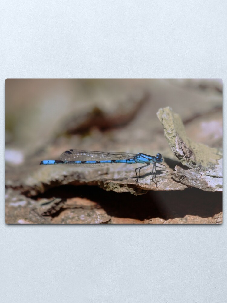 Alternate view of Common blue dragonfly Metal Print