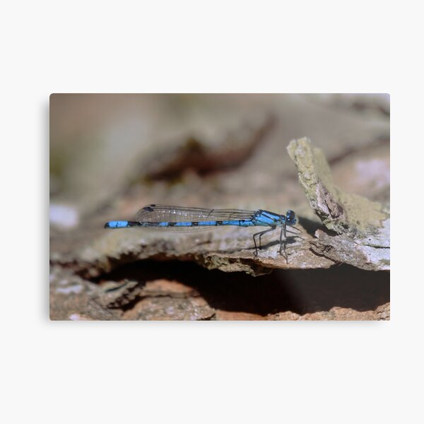 Common blue dragonfly Metal Print