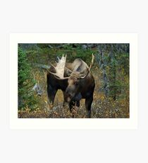 Bull moose in the woods Art Print