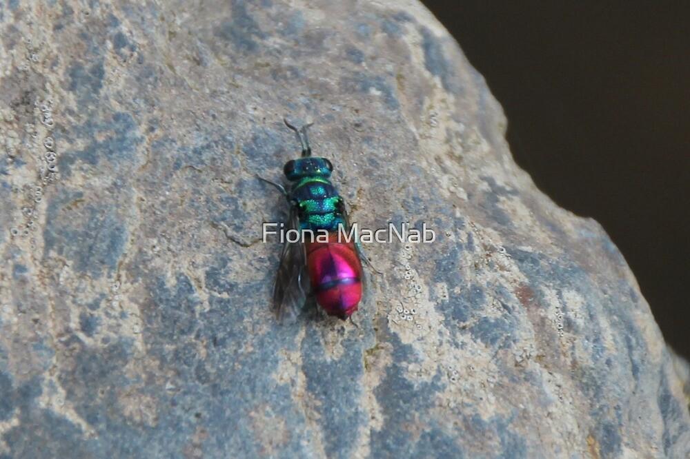 Ruby tailed wasp by Fiona MacNab