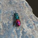 Ruby tailed wasp by Fiona MacNab