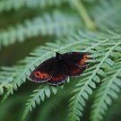 Scotch Argus butterfly by Fiona MacNab