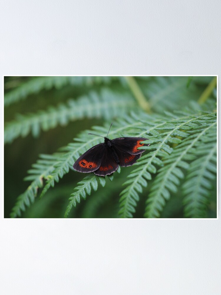 Alternate view of Scotch Argus butterfly Poster