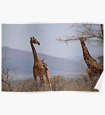 Reticulated Giraffes ~ Samburu National Park Poster