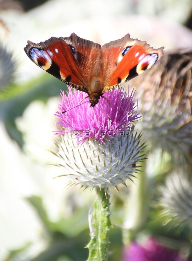 Peacock on thistle by Fiona MacNab