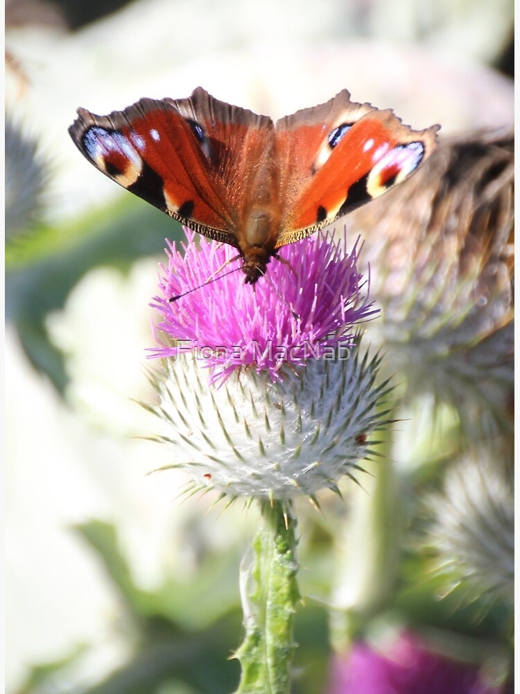 Peacock on thistle by orcadia